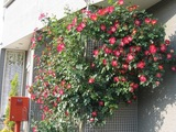 070510kyotaku-rose1.jpg