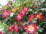 070510kyotaku-rose2.jpg